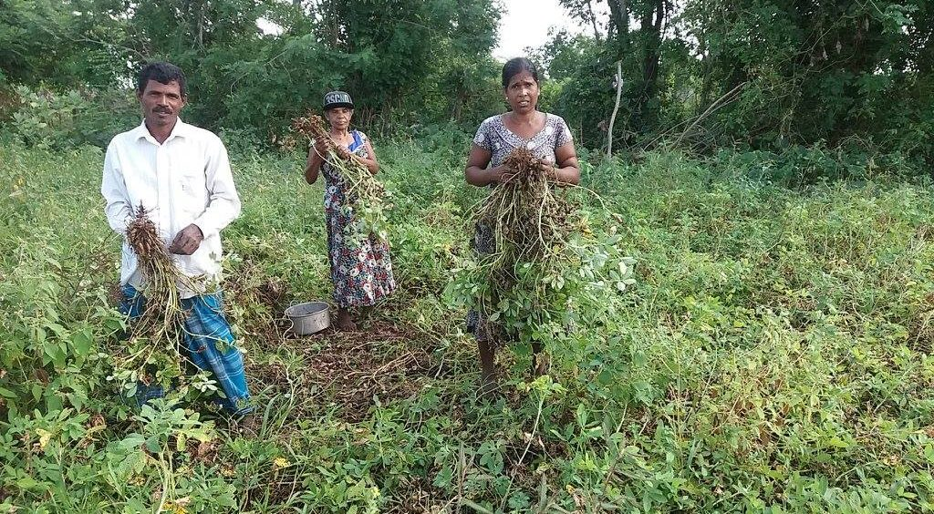 Livelihood Project – Update on Ground Nut Cultivation Activity